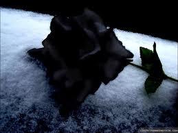 black winter rose